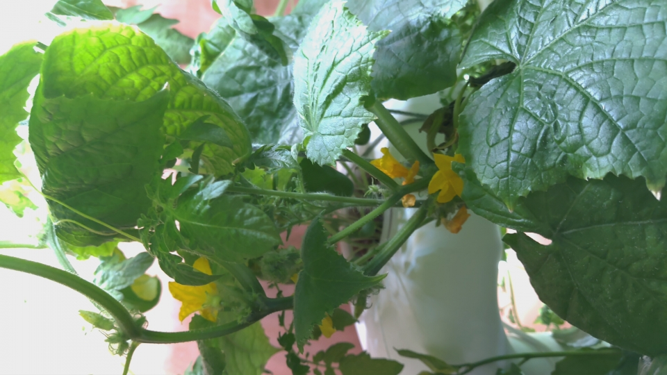 Finngals hydroponic experiments