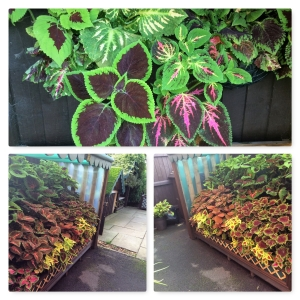 End photo of covered Coleus