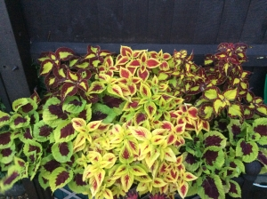 3 Different Coleus