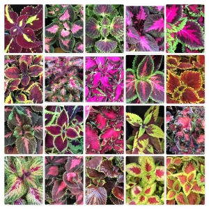 Close up Pictures  i took of all the different coleus i grew in 2016.Hope i can find more in...